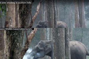 Chú voi 'hút thuốc' trong khu rừng phía Nam Ấn Độ