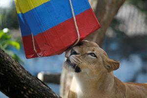 Cặp đôi sư tử tiên đoán Colombia sẽ thắng Nhật Bản