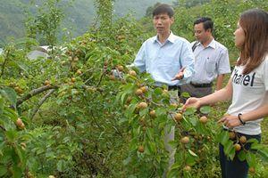 Lai Châu: Giảm hộ nghèo nhờ phát triển cây ăn quả ôn đới
