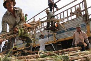 Gỡ khó cho sản xuất mía đường trong nước: Kết nối nhà máy với doanh nghiệp