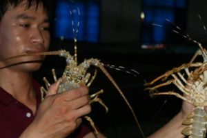 Khó tin: Đưa con tôm hùm dưới đáy biển sâu về nuôi tốt trong bể