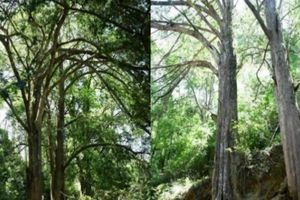 Cụ cây thông đỏ 'thành tinh', hơn 450 tuổi vẫn 'quấn quýt' gây sốc