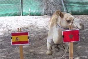 Đại bàng chọn Tây Ban Nha, mèo, vẹt, lạc đà dự đoán Morocco thắng