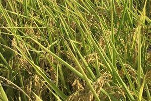 Đại thắng ở huyện trồng lúa Nhật nhiều nhất cả nước