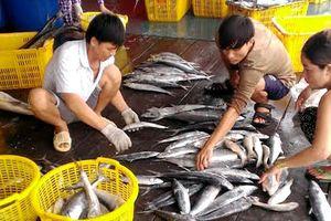 Bấp bênh vụ cá thu