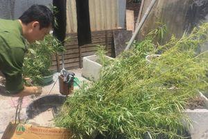 Quảng Ninh: Ngang nhiên trồng cả vườn cân sa trong nhà
