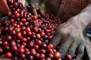 Giá nông sản hôm nay 2/7: Cà phê đóng băng chờ giá, giá tiêu vẫn thấp kỉ lục