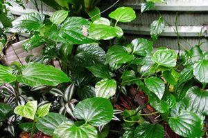 Bài thuốc chữa xương khớp hiệu quả từ loại lá vườn nào cũng có