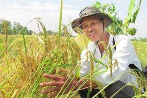 Hiệu quả phân lân nung chảy, NPK NInh Bình cho lúa trên đất phèn