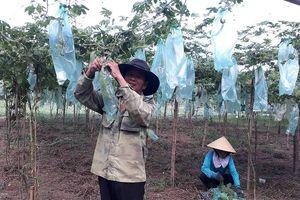 Chuyển sang trồng màu lợi nhuận gấp 5 lần cây lúa