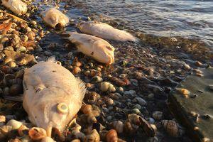 Cá Hồ Tây chết hàng loạt kể từ đầu đợt nắng nóng