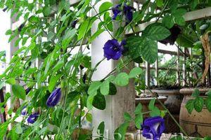 Cây hoa đậu biếc trị được những bệnh gì?