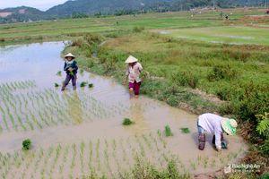 Có 'mưa vàng', nông dân Nghệ An phấn khởi 'cứu lúa'