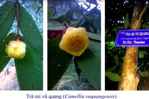 Phát hiện hai loài trà mi hoa vàng tại Vườn Quốc gia Vũ Quang