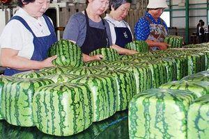Dưa hấu vuông Nhật Bản giá 4,5 triệu/quả vẫn không đủ hàng để bán