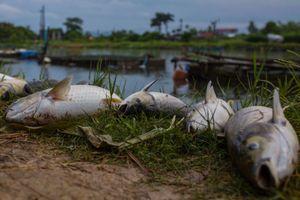 Cá chết hàng loạt vì nắng, người nuôi ở Huế mất bạc tỷ