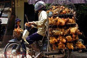 Chặn xe xưng là cán bộ kiểm dịch cưỡng đoạt tiền của dân buôn gà
