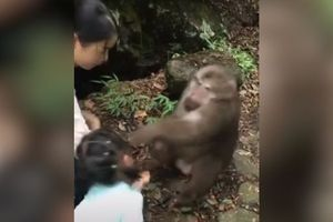 Không được cho ăn tiếp, khỉ nổi giận đấm ngã bé gái du khách