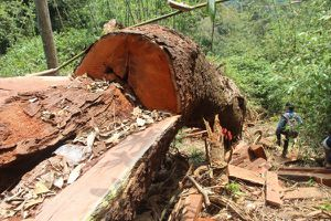 Quảng Nam: Truy nã hai đối tượng chủ mưu vụ phá rừng lim