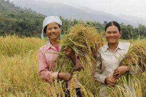 'Đệ nhất gạo nếp' Khẩu Tan Đón Thẩm Dương được DN trả giá cao