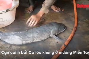 Chàng trai bắt cá lóc 'khủng' bằng tay không điêu luyện