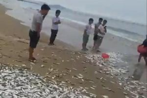 Cá dạt trắng bờ biển, ngư dân sung sướng vây bắt