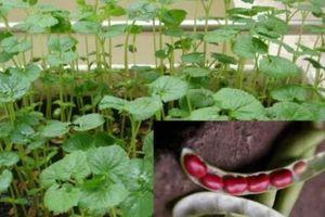 Nắng nóng, tranh thủ trồng đậu đỏ tại nhà, vừa có chè ngon lại có thuốc chữa bệnh