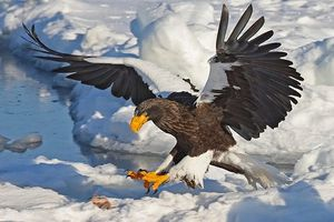 Chim ăn thịt khổng lồ mệnh danh 'chúa tể bầu trời'