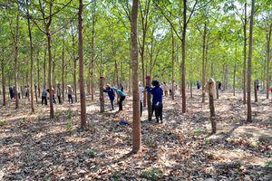 Đắk Lắk: Nhiều diện tích cao su trên đất rừng khộp kém phát triển