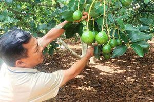 Mở rộng thị trường tiêu thụ cho quả bơ Đắk Nông