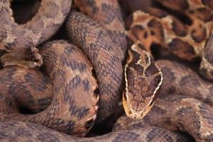 Ngôi làng Trung Quốc kiếm bộn tiền nhờ nuôi 3 triệu con rắn