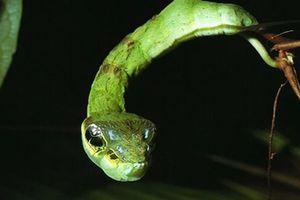 Thế giới động vật: Sâu bướm đội lốt rắn độc để đe dọa kẻ thù