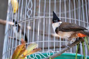 'Đạo chích' trộm chim: 2 ngày ăn chơi 'đổi' 8 tháng tù