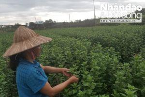 Người trồng hoa Hà Nội lo mất trắng vì mưa kéo dài