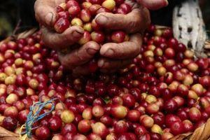 Giá nông sản hôm nay 17/7: Giá cà phê, tiêu cùng tăng nhẹ nhưng chưa thoát đáy