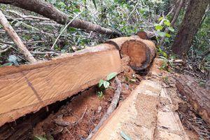 Rừng Kon Rẫy bị phá khắp nơi: UBND huyện chỉ đạo kiểm tra, xác minh