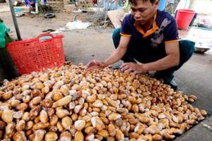 NÓNG: Tư thương Trung Quốc mua gom tới tấp hạt sầu riêng để làm gì?
