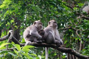 Bảo tồn loài linh trưởng quý hiếm tại Khu bảo tồn thiên nhiên Pù Hu