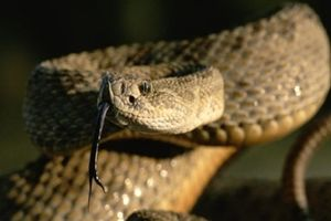 'Vũ điệu giao phối' của rắn đuôi chuông