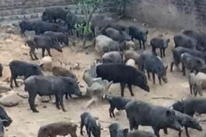 Kỳ án ở Quảng Ninh: Bị khởi tố vì đánh chết 14 con lợn rừng