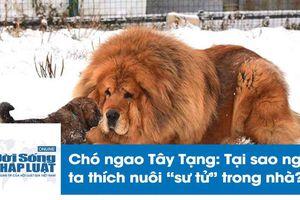 Chó ngao Tây Tạng cắn chết bé gái: Tại sao nhiều người thích nuôi 'sư tử' trong nhà?