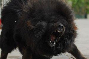 'Điểm mặt chỉ tên' những 'hung thần' mạnh không kém chó ngao Tây Tạng