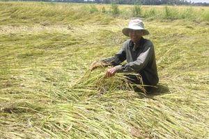 ĐBSCL: Mưa giông 'san phẳng' nhiều ruộng lúa.