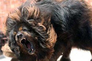Từ vụ bé gái bị chó ngao Tây Tạng cắn tử vong, cần hiểu hơn về loài chó hung dữ này!
