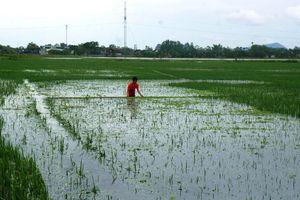 Nghệ An: Người dân dầm mình giữa nước lũ cứu lúa