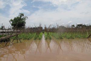 Hà Nội: 20ha rau sạch trị giá gần 1 tỉ đồng mất trắng sau đêm mưa, dân sống nhờ... cá
