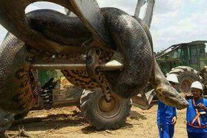 Loài trăn khổng lồ