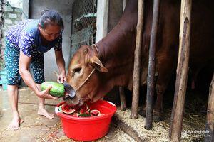 Dưa hấu Nghệ An hỏng nát sau lũ, dân hái cho bò ăn
