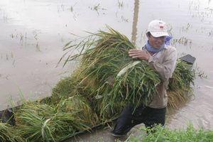 ĐBSCL: Nông dân lao đao vì lũ sớm, lại lo ảnh hưởng vụ vỡ đập thủy điện ở Lào