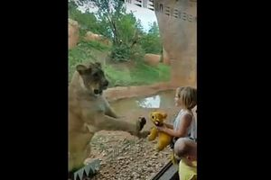 Clip: Sư tử vô tư chơi đùa với thú bông của bé gái